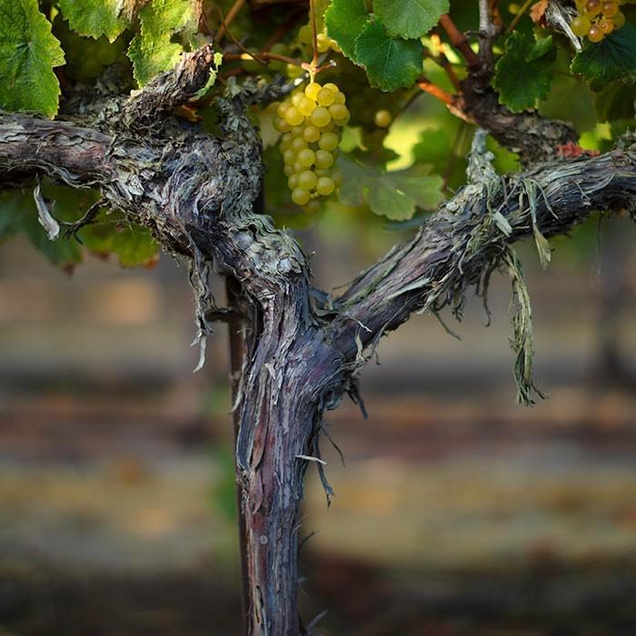 Hahn Vines